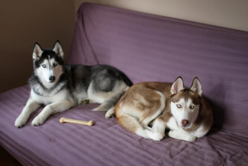Говорящая собака Мишка породы сибирский хаски и Лайка. Фото