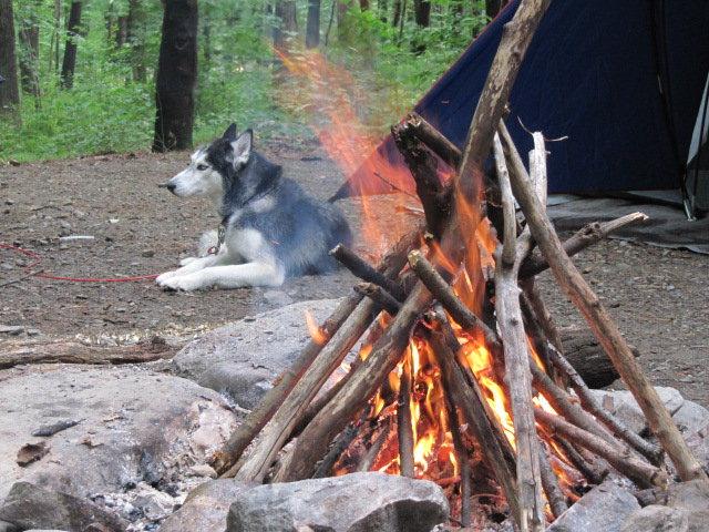 Говорящая собака Мишка породы сибирский хаски. Фото у костра