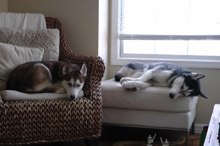 Говорящая собака Мишка с Лайкой на диване. Фото