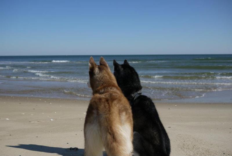 Говорящая собака Мишка породы сибирский хаски и ее сестра Лайка. Фото