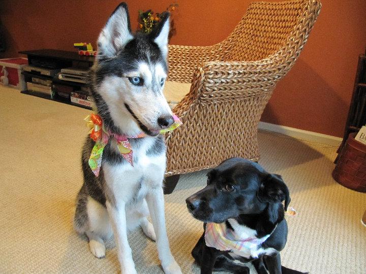 Говорящая собака Мишка породы сибирский хаски. Фото