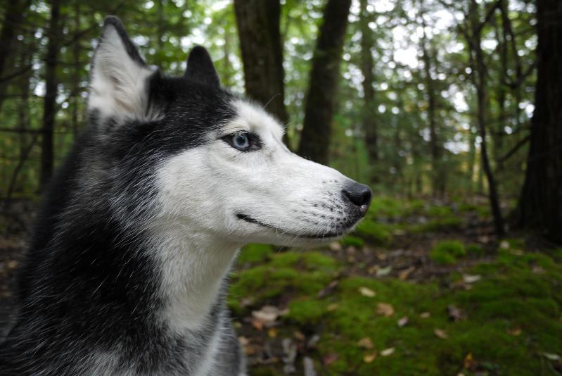 Говорящая собака Мишка породы сибирский хаски в лесу. Фото