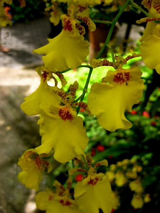 Желтая орхидея в Парке Нонг Нуч в Таиланде. Паттайя. Фото