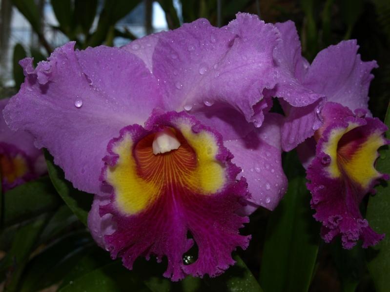 Фиолетовая орхидея в Парке Нонг Нуч в Таиланде. Паттайя. Фото