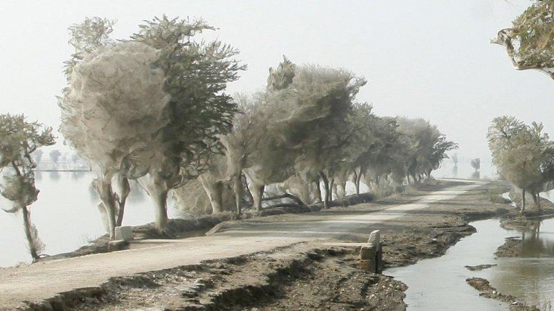 Нашествие пауков на деревья в Пакистане. Фото