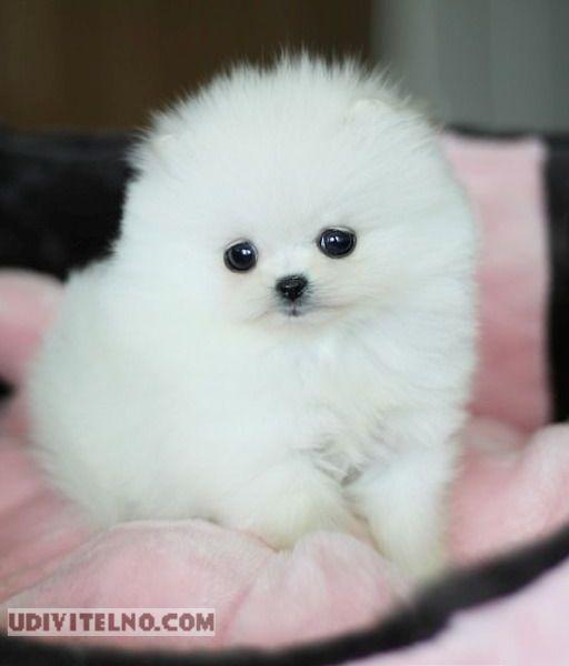Белый щенок померанского шпица. Красивое фото
