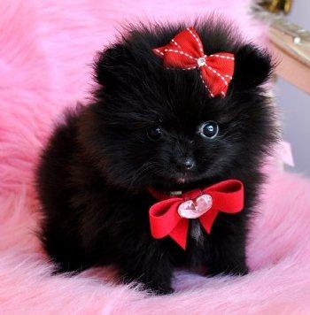 Черный щенок померанского шпица. Красивое фото