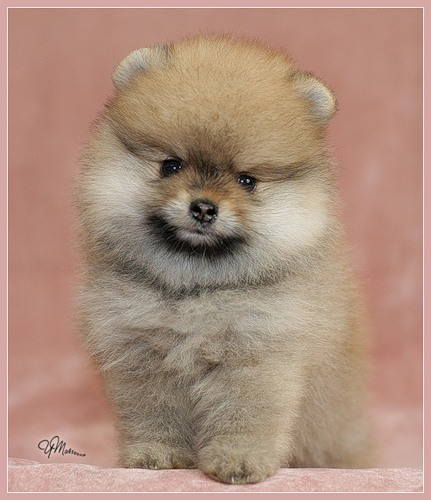 фото щенок померанский шпиц