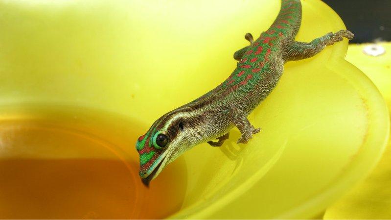гекконы острова Маврикий. Фото