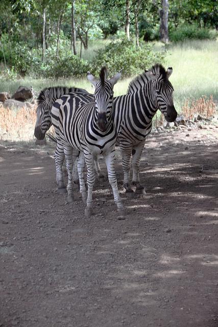 зебры острова Маврикий. Фото