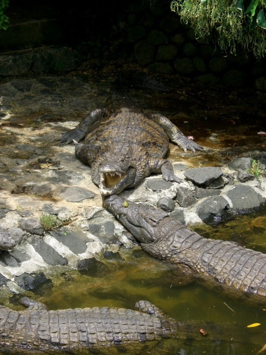 крокодилы острова Маврикий. Фото