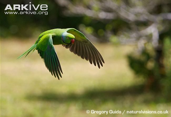 маврикийский кольчатый попугай. Фото