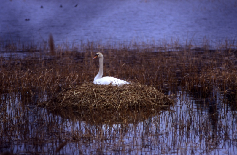 лебедь. Аландские острова. фото