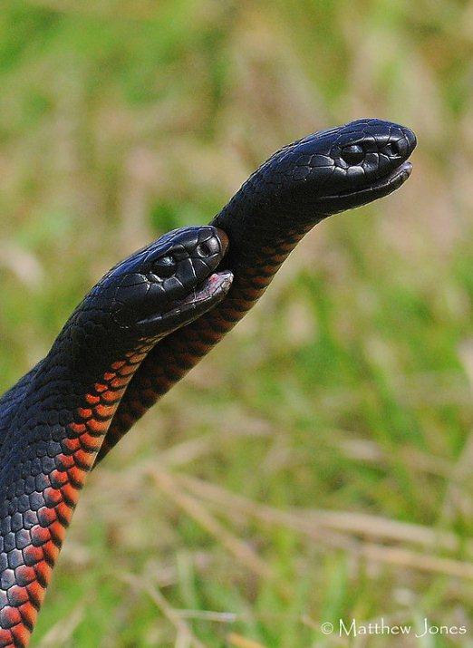 Чёрная ехидна - австралийская черная змея. Фото