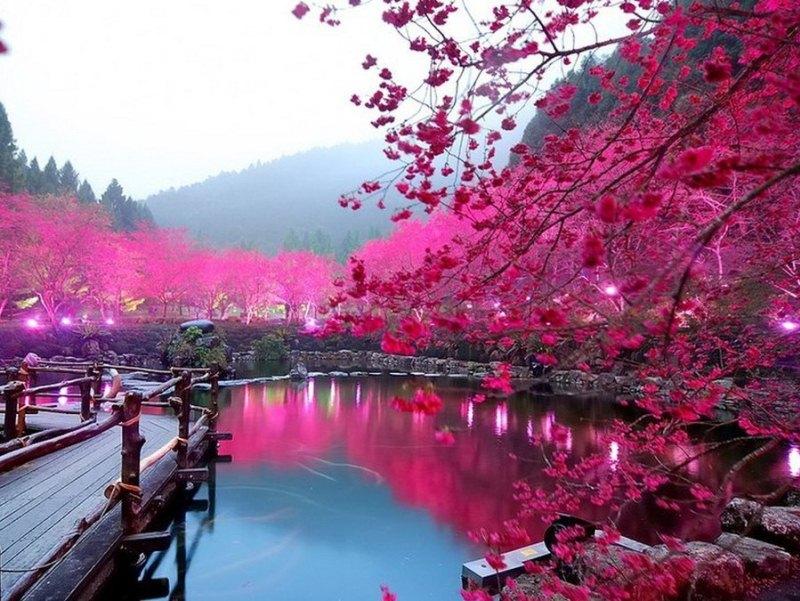 Цветущая сакура. Фото