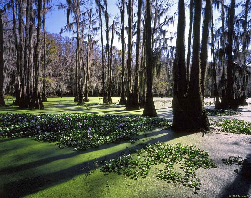 Красивые кипарисы весной. Озеро Каддо в Техасе. Фото