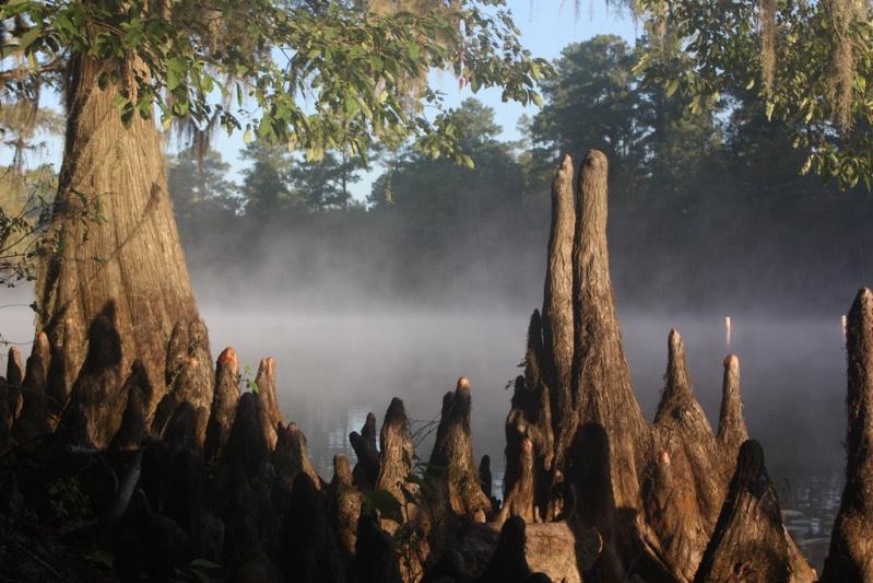 Пеньки кипарисов. Озеро Каддо в Техасе. Фото