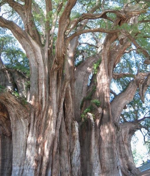 дерево с самым толстым стволом в мире: Туле (Мексика). фото