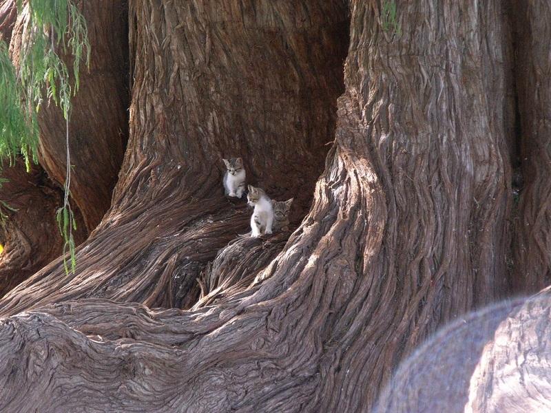 дерево Туле (Мексика)