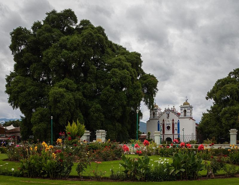 самые толстые деревья в мире: Туле (Мексика). фото