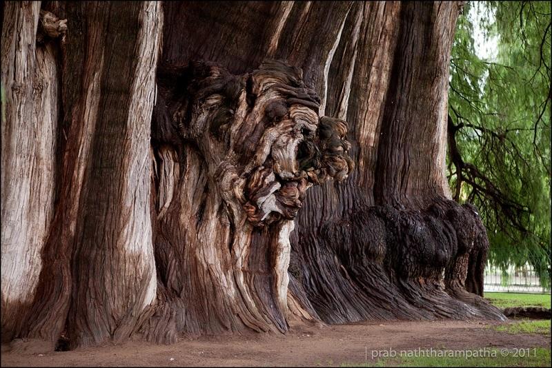 Лев на дереве Туле