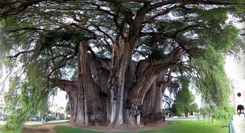 самое толстое дерево в мире - Туле (Мексика). фото