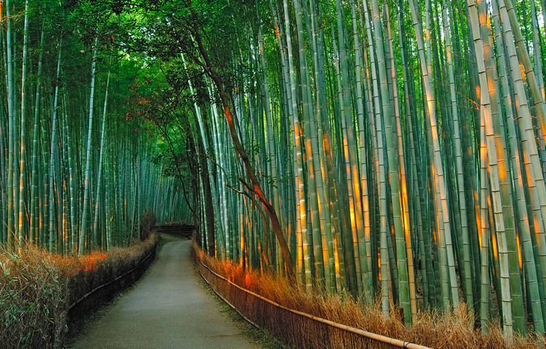 Бамбуковая роща Сагано в Киото. Япония. Фото