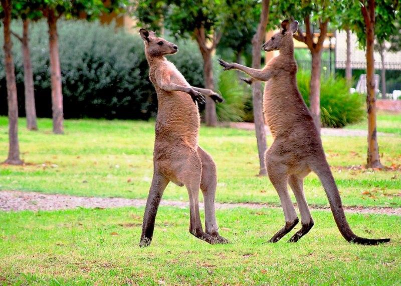 Разборки кенгуру фото дня