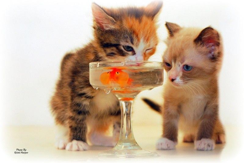 Котята ловят золотую рыбку. Фото дня