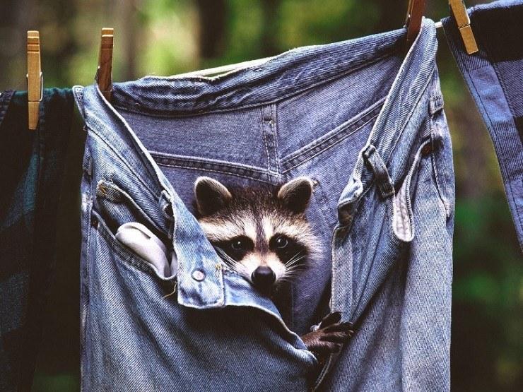 Маленький енот залез в джинсы. Фото