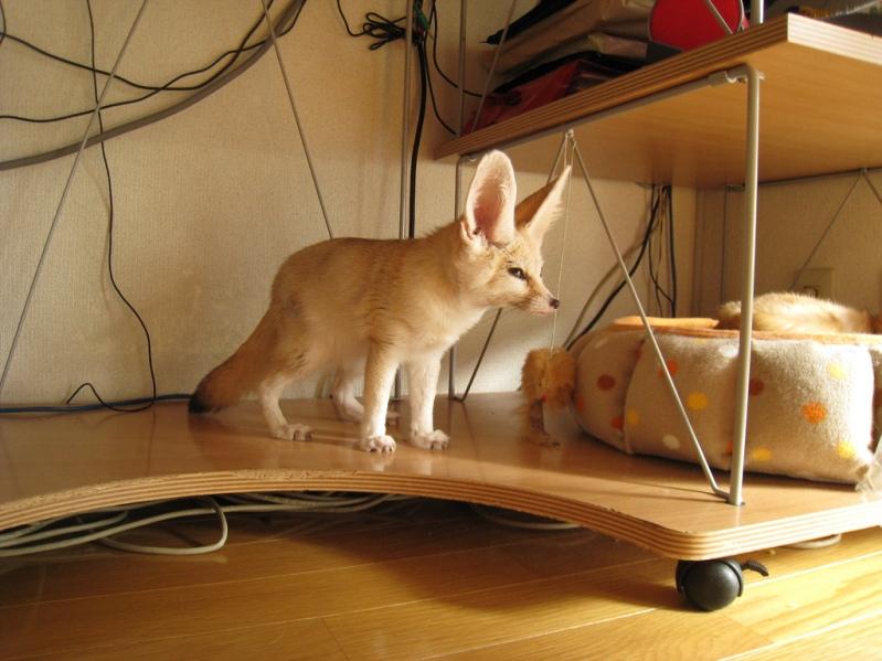 Фенек в домашних условиях. Фото