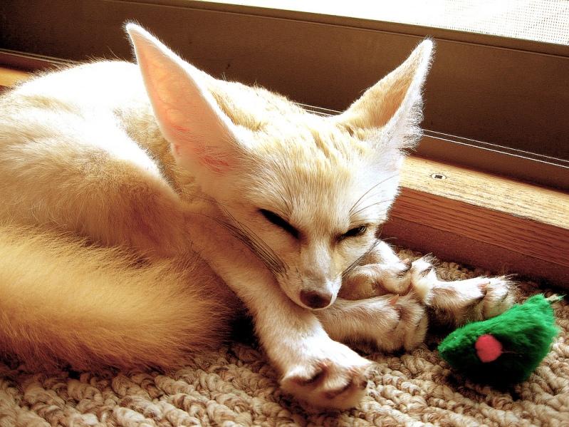 Спящий фенек. Фото