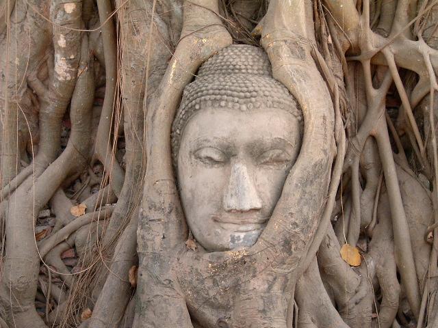 Голова от статуи Будды в дереве. Фото