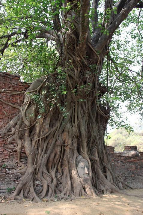 Необычное дерево у храма Аюттхая в Таиланде. Фото