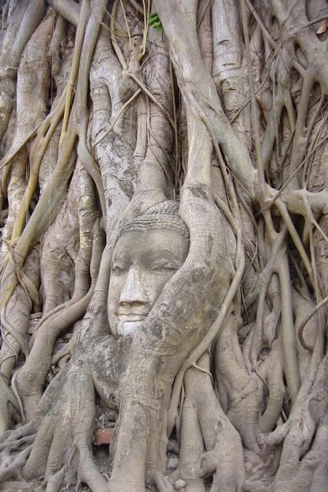 Дерево, разросшееся вокруг головы Будды на территории храма Ват Махатхат. Фото