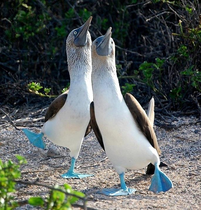 Две голубоногих олуши исполняют брачный танец. Фото
