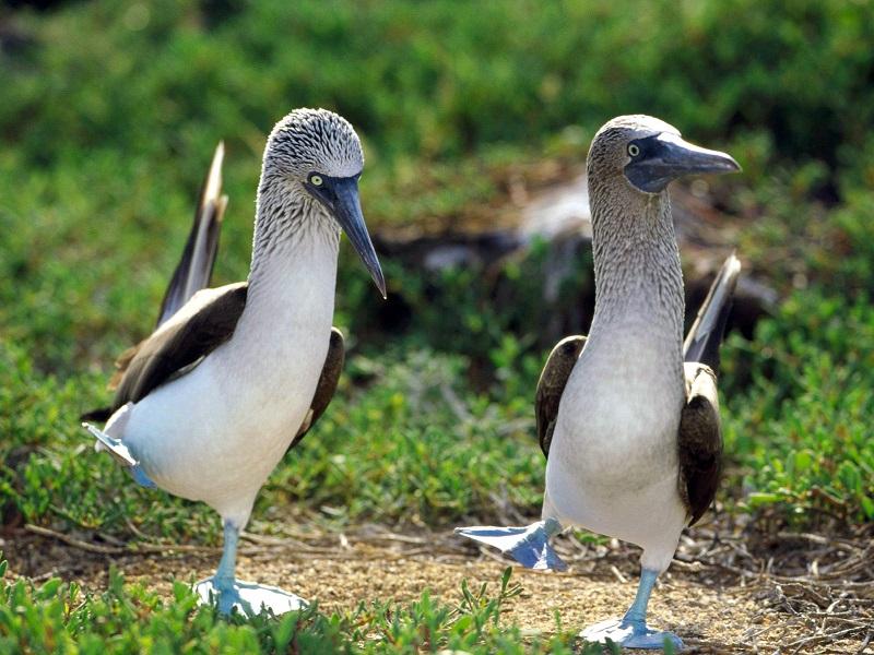 Необычные птицы голубоногие олуши. Фото