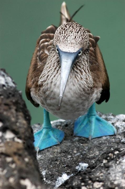 Необычная птица голубоногая олуша крупным планом. Фото