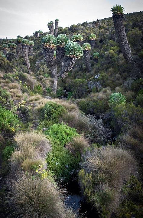 Мхи и лишайнике на подступах к горе Килиманджаро. Фото
