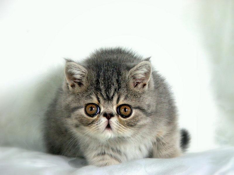Экзотический короткошерстный котенок. Фото