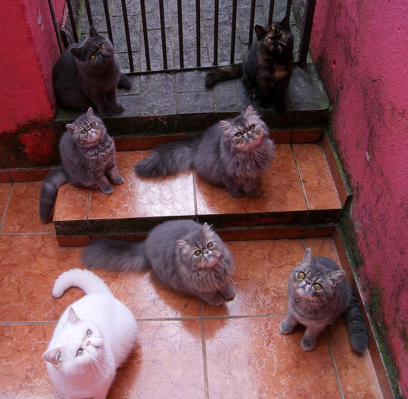 Экзотические короткошерстные кошки. Фото