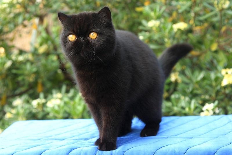 Черная экзотическая короткошерстная кошка. Фото