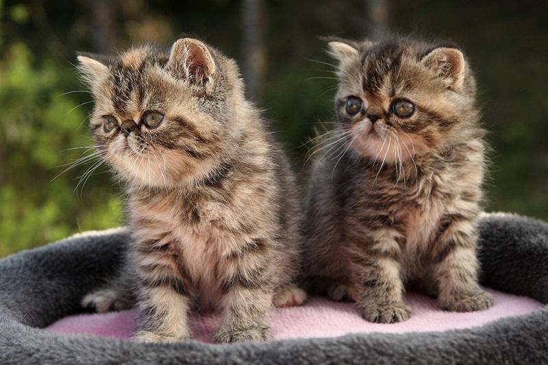 Экзотические короткошерстные котята. Фото