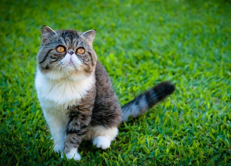 Экзотическая короткошерстная кошка на улице. Фото