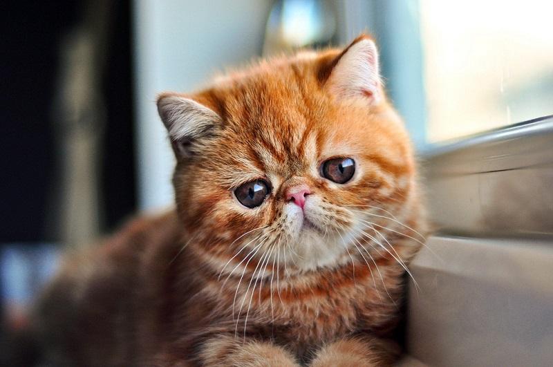 Экзотическая короткошерстная кошка рыжего окраса. Фото