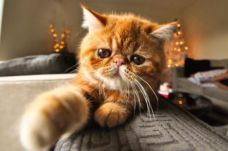 Рыжая экзотическая короткошерстная кошка. Фото