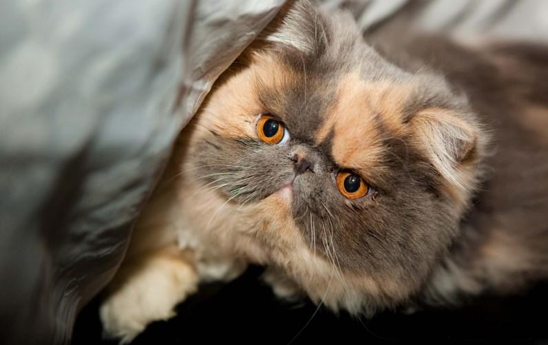 Красивая экзотическая короткошерстная кошка. Фото