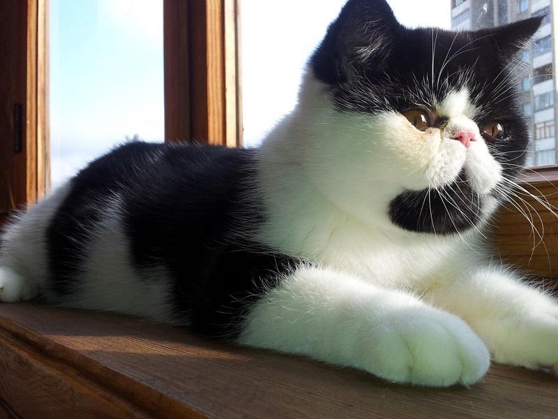Экзотическая короткошерстная кошка. Фото