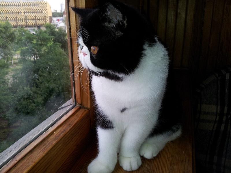 Экзотическя короткошерстная кошка черно-белого окраса. Фото