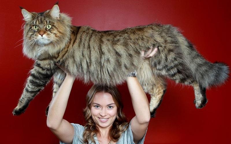 Большой кот мейнкун на руках у хозяйки. Фото